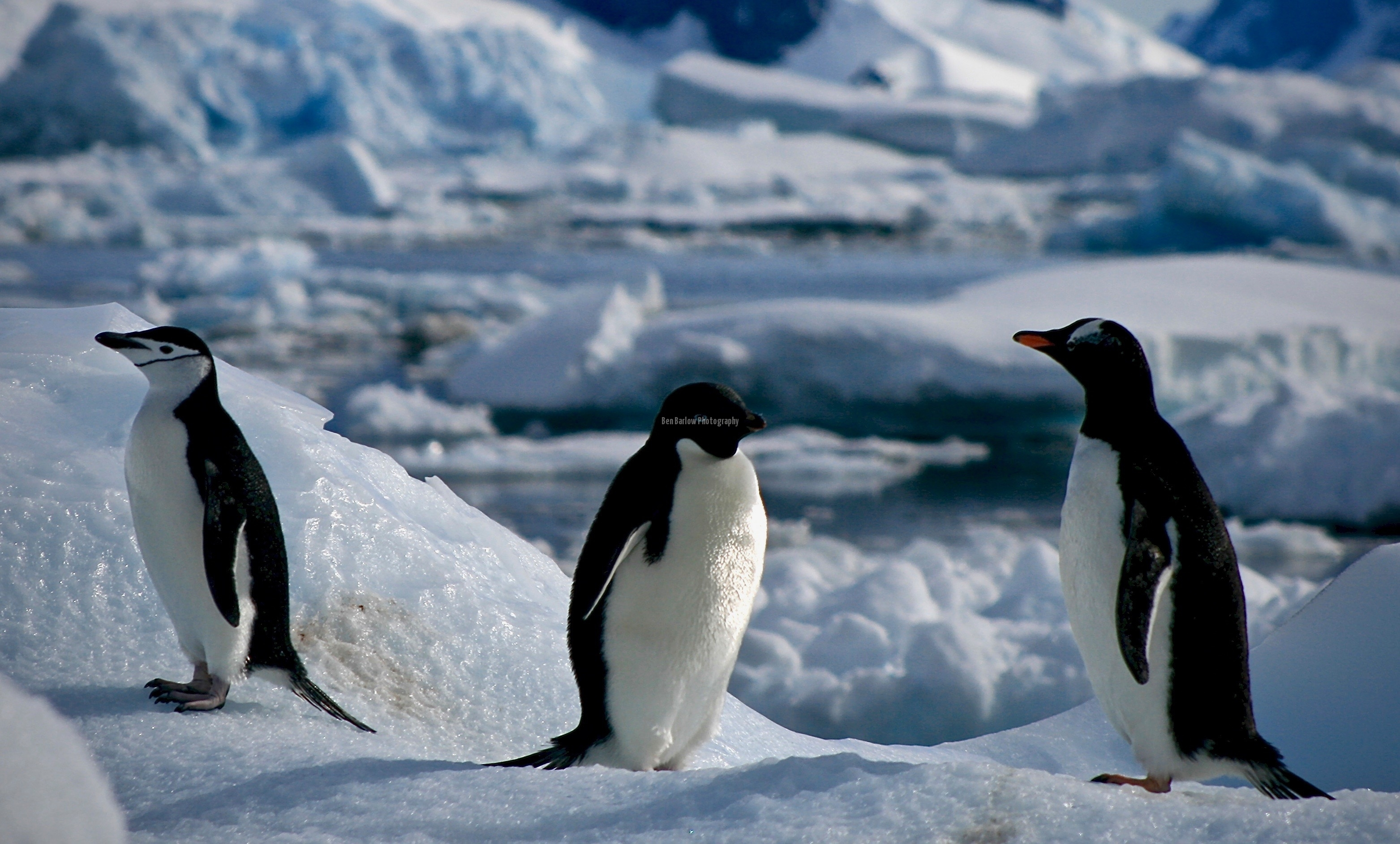 Adele, Chinstrap, and Gentoo on Ice