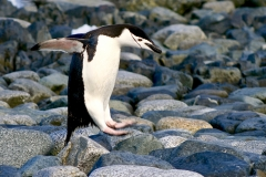Chinstrap Penguin Hopping on Beach, Half Moon Island