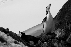 Chinstrap Penguin, Orne Point